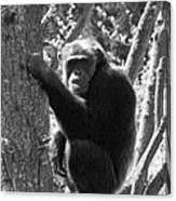 A Primate Canvas Print