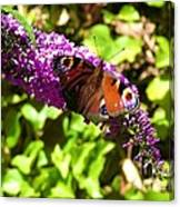 A Red Admiral On A Purple Budlier Canvas Print