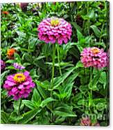 A Sea Of Zinnias 09 Canvas Print
