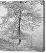 A Single Infrared Beech Tree Canvas Print