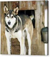 A Sled Dog Stands By Its Kennel Canvas Print