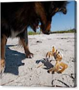 A Small Dog Fights With A Crab Canvas Print