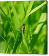 A Small Dragonfly Canvas Print