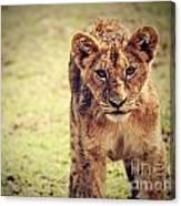 A Small Lion Cub Portrait. Tanzania Canvas Print