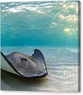 A Southern Stingray Canvas Print