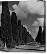 A Street Lined With Cypress Trees Canvas Print
