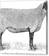 A Suffolk Shearling Ewe          Date Canvas Print