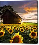 A Sunflower Moment Canvas Print