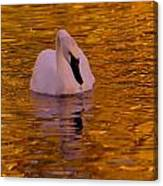 A Swan On Golden Waters Canvas Print