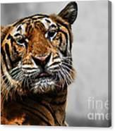 A Tiger's Look Canvas Print