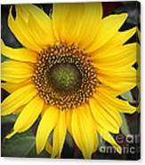 A Touch Of Sunshine - Sunflower Canvas Print