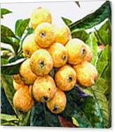 A Tree Full Of Ripe Loquats Canvas Print