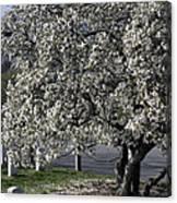 A Tree In Arlington Canvas Print