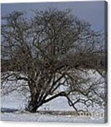 A Tree In Canaan 2 Canvas Print
