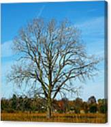 A Tree In Fall... Canvas Print