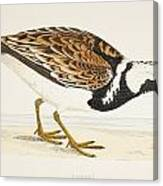 A Turnstone. Arenaria Interpres. From A Canvas Print