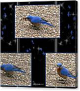 A Typical Eastern Bluebird's Lunch - Featured In Comfortable Art Group Canvas Print