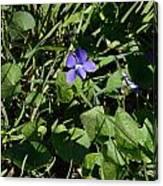 A Violet Canvas Print