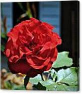 A Vivid Red Rose Canvas Print