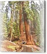 A Walk Among The Giant Sequoias Canvas Print