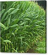 A Wall Of Corn Canvas Print