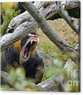 A Yawning Mandrill  Canvas Print