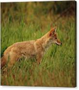 A Young Coyote Canvas Print