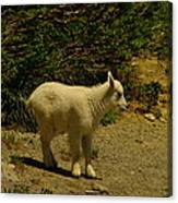 A Young Mountain Goat Canvas Print