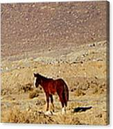 A Young Mustang Canvas Print