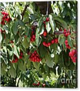 Abundant Cherries Canvas Print