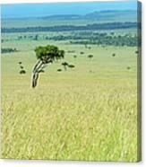 Acacia In The Green Plains Of Masai Mara Canvas Print