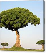 Acacia Trees Masai Mara Kenya Canvas Print