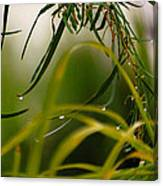 Acacia Water Drops Canvas Print