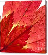 Acer From Beneath Canvas Print