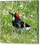 Acorn Woodpecker Foraging Canvas Print