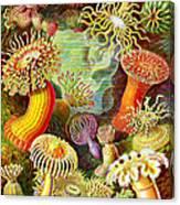 Actinia Sea Creatures Canvas Print