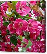 Adams Crabapple Blossoms Canvas Print