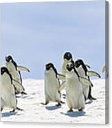 Adelie Penguin Group Running Antarctica Canvas Print