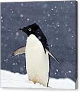 Adelie Penguin Standing In Fresh Canvas Print