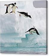 Adelie Penguins Diving Off Iceberg Canvas Print