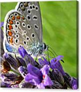 Adonis Blue Butterfly Of Monteriggioni Canvas Print