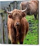Adorable Highland Cow Canvas Print
