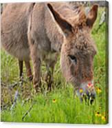 Adorable Mini-burro Canvas Print