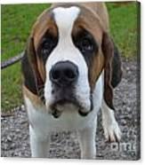 Adorable Saint Bernard Dog Canvas Print