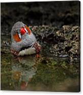 Adorable Zebra Finch Taking A Bath Canvas Print