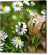 Adult Female Drone Fly Aka Bee Mimic Canvas Print