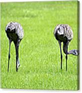 Adult Florida Sandhill Cranes Grus Canadensis Pratensis I Usa Canvas Print