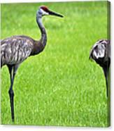 Adult Florida Sandhill Cranes Grus Canadensis Pratensis II Usa Canvas Print