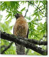 Adult Red Shouldered Hawk Canvas Print