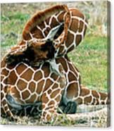 Adult Reticulated Giraffe Canvas Print